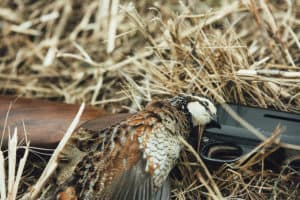 Managing Quail for hunting